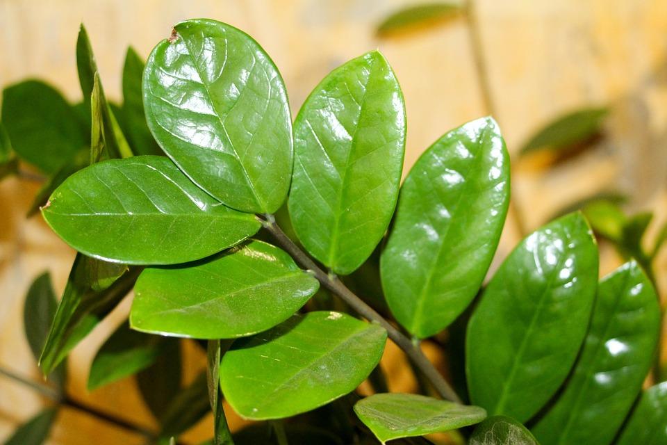 Zamioculcas – izbová rastlina, ktorá žije svojím životom