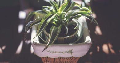 3 izbové rastliny, ktoré sa radia k tým najmenej náročným