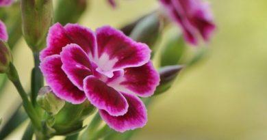 Top štyri balkónové kvety, ktoré rozžiari váš balkón