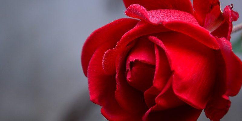 Aj ruže môžu postihnúť choroby. Aké sa objavujú najčastejšie?