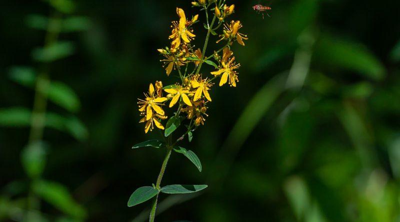 Poznáte repík? Rastlinu s ohromnou liečivou silou?