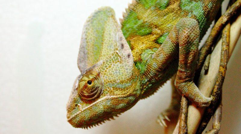 Čo sledovať pri nadobudnutí chameleóna