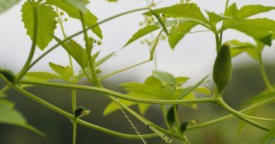 Ačokča čiže paprika-uhorka. Čo to je a odkiaľ pochádza?
