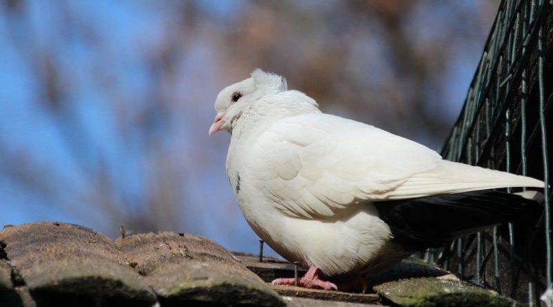 Chováte holuby? Montaubánec možno vzbudil aj vašu pozornosť